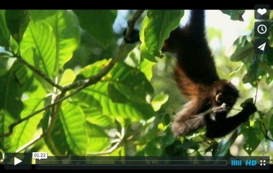 Spider Monkey Video